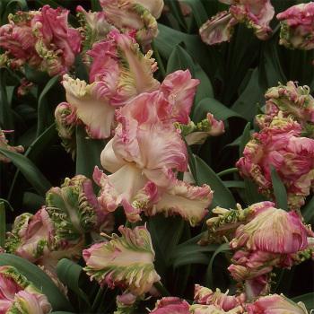 Webers Parrot Tulip
