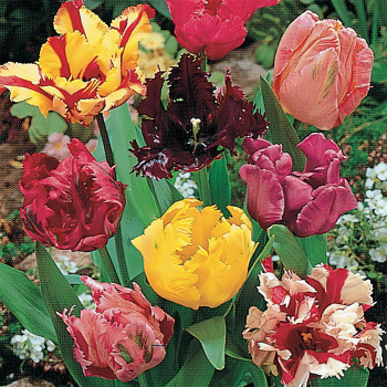 Parrot Mixed Tulips