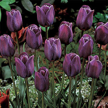 Bleu Aimable Single Late Tulip