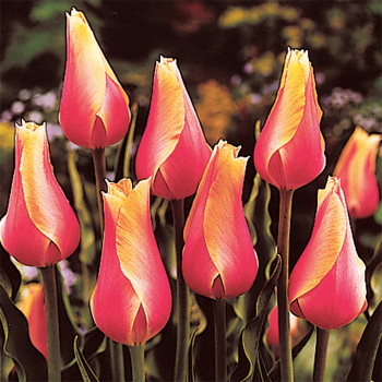 Blushing Beauty Single Late Tulip