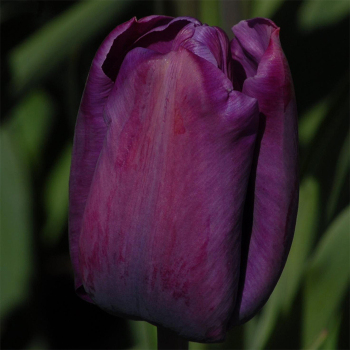 Cum Laude Single Late Tulip