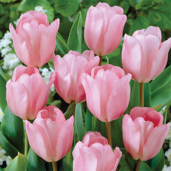 Pink Diamond Single Late Tulip