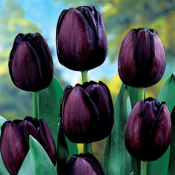 Queen Of Night Single Late Tulip