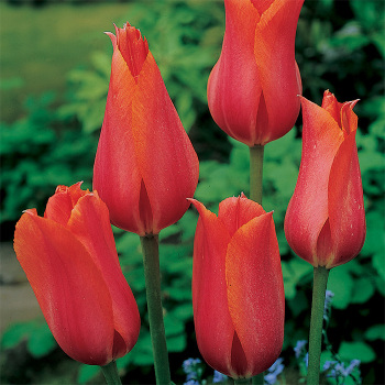 Temple Of Beauty Single Late Tulip