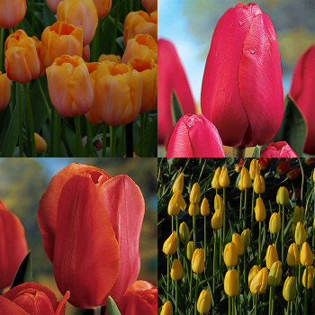 Scheepers Hybrid Tulip Collection