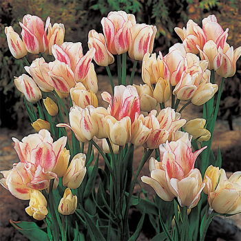 Candy Club Multiflowering Tulip