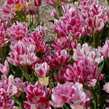 Flaming Club Multiflowered Tulip