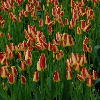 Florette Multiflowered Tulip