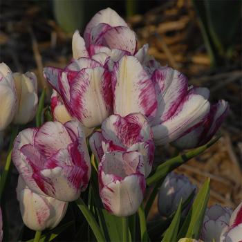Modern Style Multiflowering Tulip
