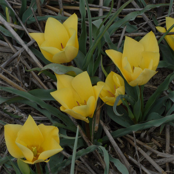 Tulip Batalinii Yellow Jewel