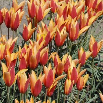 Tulip Clusiana Tubergen's Gem