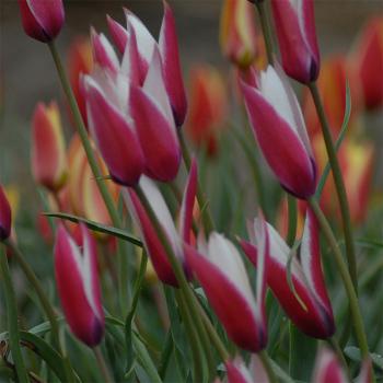 Tulip Clusiana Peppermint Stick
