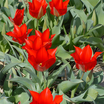 Tulip Eichleri