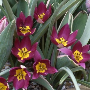Tulip Humilis Persian Pearl