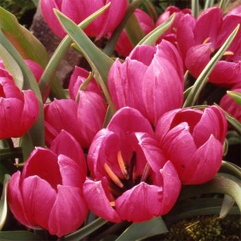 Tulip Humilis Violacea Black Base