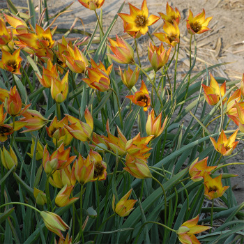Tulip Orphanidea Flava