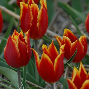 Tulip Schrenkii