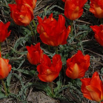 Tulip Vvedenskyi Tangerine Beauty