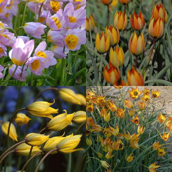 Wild Tulips Of The Mediterranean