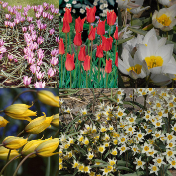 Heirloom Wild Tulip Collection