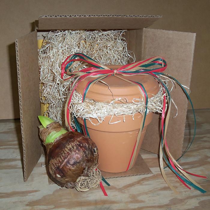 Amaryllis Gift Packaging