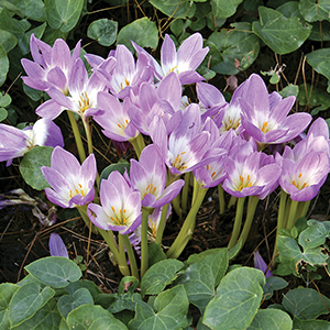 Colchicum, Fall-Flowering