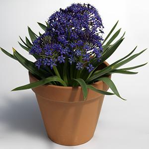 Cuban Lily