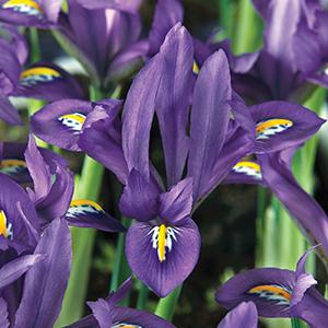 Iris Dwarf