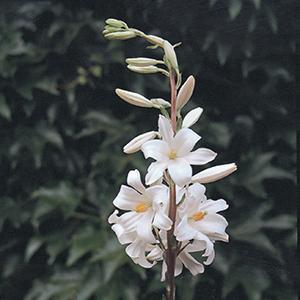 Lilium Candidium