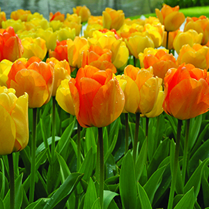 Fragrant Tulips