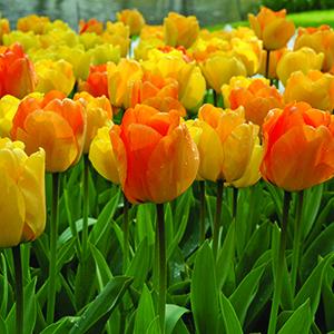 Fragrant Tulips