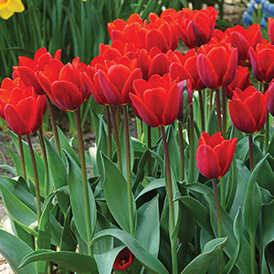 Tulips for Forcing
