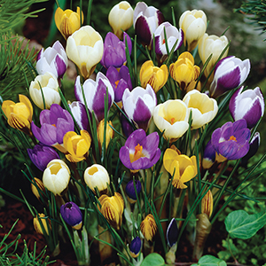 Crocus Species, Spring Flowering
