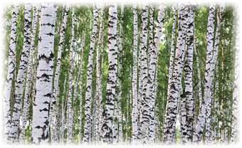 Wall Mural; Birches