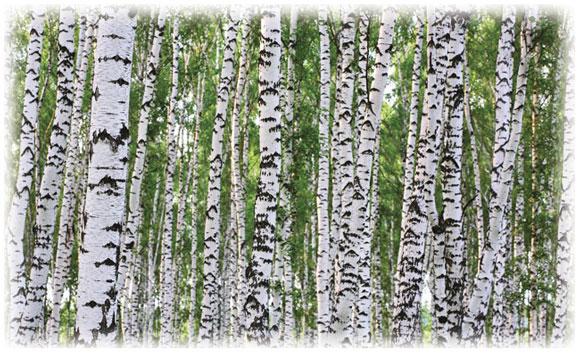 Wall Mural; Birches