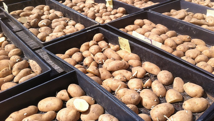 Carola Seed Potatoes