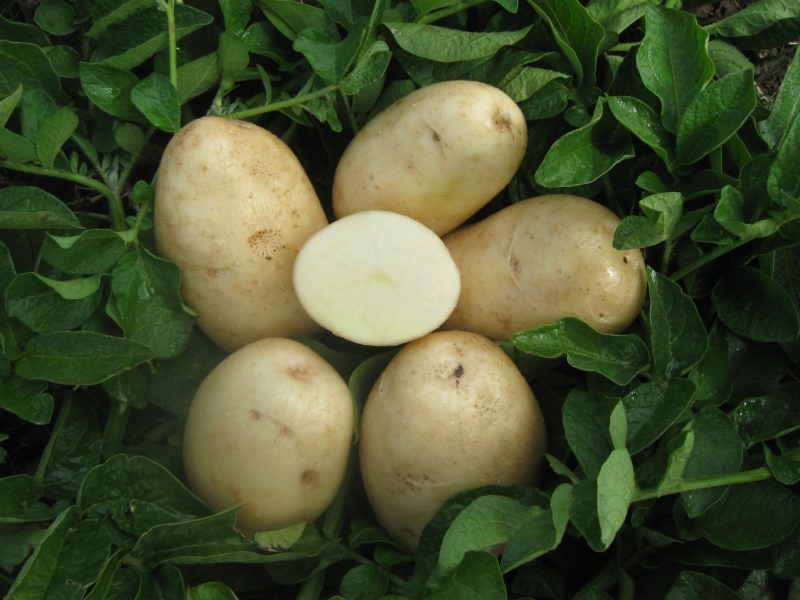 Organic Cal White