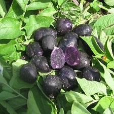 Organic Purple Peruvian