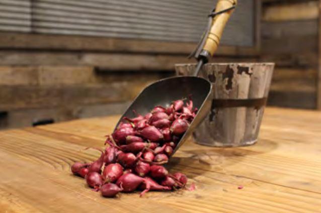 Red Karmen Onion Sets