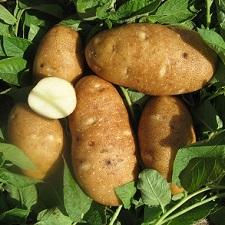 Organic Russet Burbank