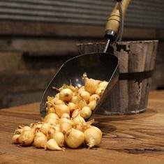 Stuttgarter Yellow Onion Sets