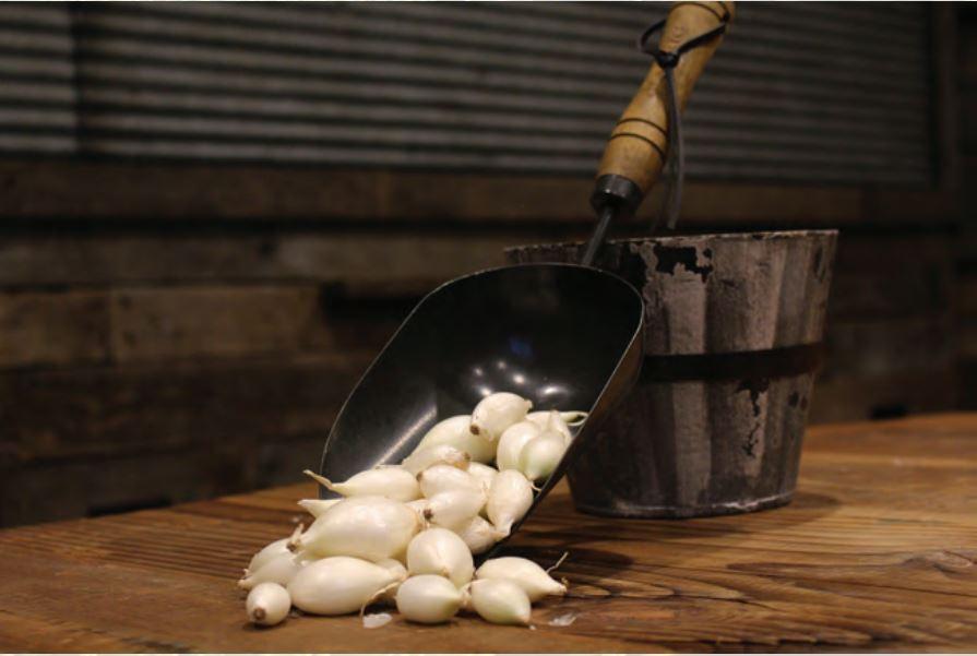 White King Onion Sets