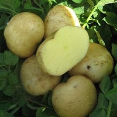 Organic Yellow Finn