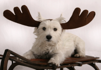 Dog with Antlers Holiday Postcard