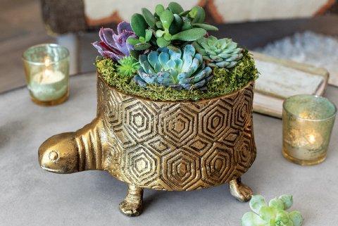 Gilded Tortoise Succulent