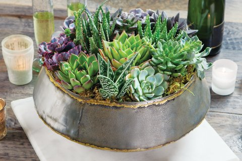 Verona Succulent