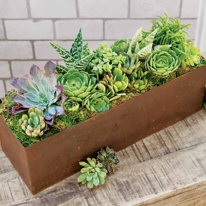 Succulent Garden All Gifts Olive Cocoa