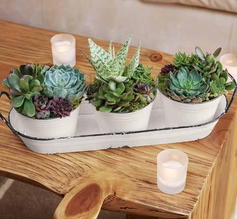 Farmstead Succulent Trio & Tray