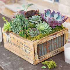 Homestead Succulent