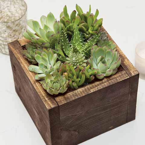 Cocoa Succulent Box